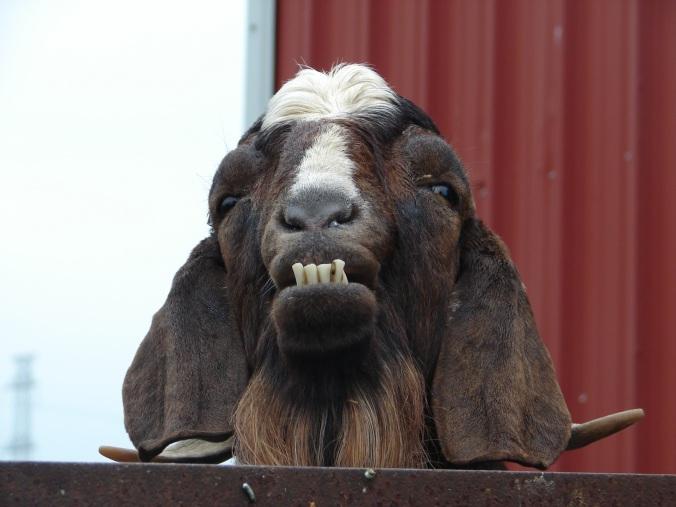 grumpy-old-goat