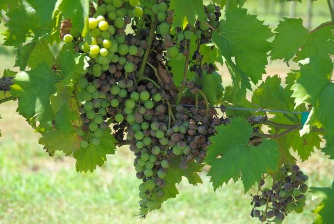 grapes-on-a-vine-14030879160TI